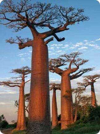 Adansonia Digitata Pohon Aneh dan Unik yang Tumbuh Terbalik