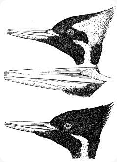 burung pelatuk Campephilus_principalis