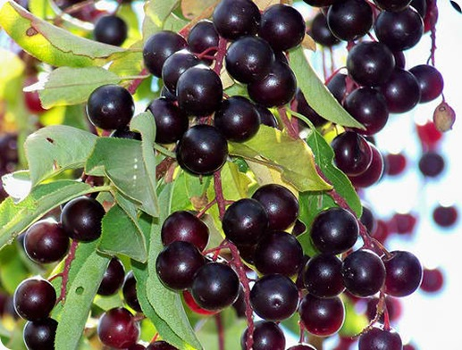 chokecherry berries (3)