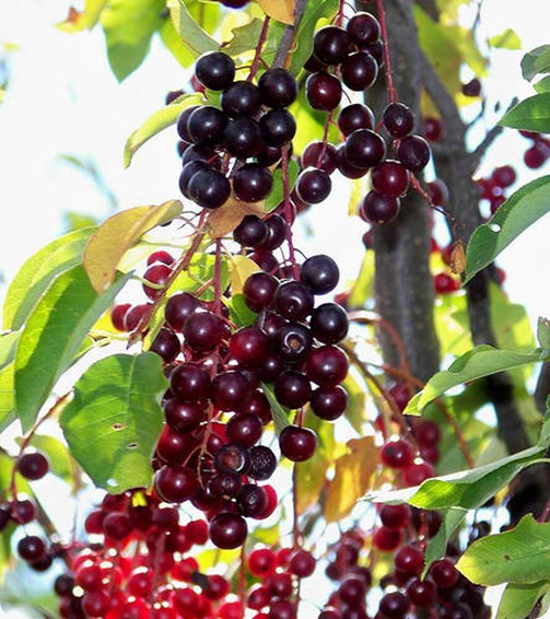 chokecherry berries (4)
