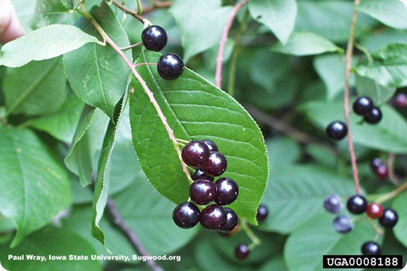 chokecherry berries (5)