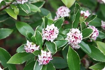 Daphne-Odora-Bush