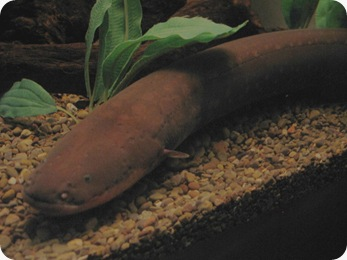 Electric_Eel