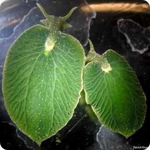 Elysia chlorotika hewan setengah flora dan setengah fauna wanibesak