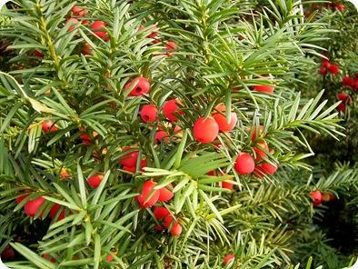 English Yew (cemara Inggris) atau taxus baccata, adalah salah satu pohon mematikan di muka bumi