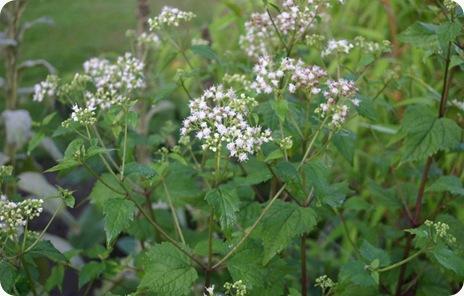 Eupatorium-rugosum-flowers