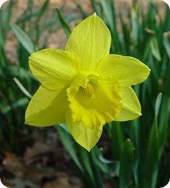 Narcissus_psuedo-narcissus_flower