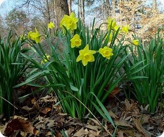 Narcissus_psuedo-narcissus_plant