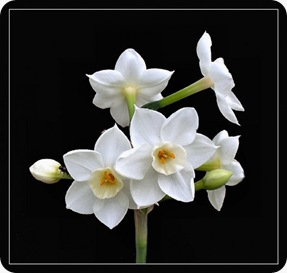 Narcissus Paperwhite_Narcissus