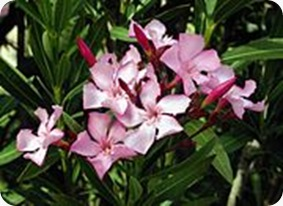 Nerium_oleander_flowers_leaves