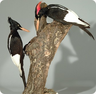 Pelatuk Raja (Campephilus imperialis) adalah salah satu spesies Burung pelatuk familia Picidae Kaiserspecht_fg02