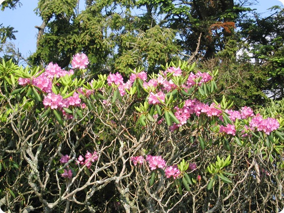 Rhododendron-catawbiense2
