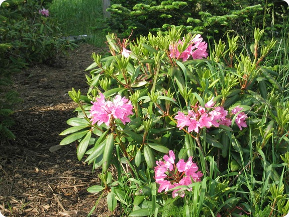 Rhododendron-catawbiense