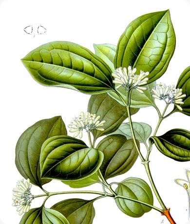 strychnos-nux-vomica1 (1)