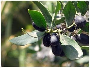 Tanaman bushman atau Acokanthera oppositifolia  2