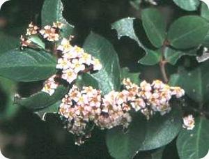 Tanaman bushman atau Acokanthera oppositifolia  acokanthoppos