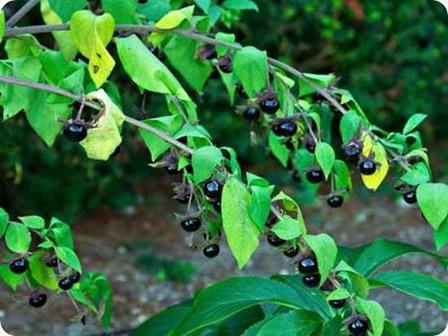 Tanaman ini juga dikenal sebagai cherry setan, cherry hitam, great morel, dan belladona