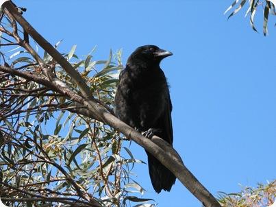 Dendam Burung Gagak Ternyata Diwariskan Pada Sahabat dan Anak Cucu raven little wanibesak